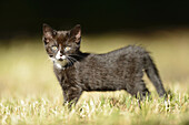 Close-up of a domestic cat (Felis silvestris catus) kitten on a meadow in spring