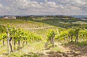 Vineyards near to San Gimignano, Tuscany. The town also is known for the white wine, Vernaccia di San Gimignano, produced from the ancient variety of Vernaccia grape which is grown on the sandstone hillsides of the area.