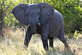 An adult elephant with her ????calf near Camp Khwai River Lodge by Orient Express in Botswana, within the Moremi Game Reserve Wild. Killing an elephant in Botswana, from 30,000 euros. Go big game in Africa is not for all pockets. And the continent's count