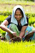 Indonesian woman planting rice, Tetebatu, Lombok, Indonesia