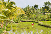 Indonesian women in a paddy field, Tetebatu, Lombok, Indonesia