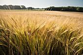 Detail of a wheat field ain the Upper Danube Nature Park, Sigmaringen, Tuttlingen, Zollernalb, Biberach, Swabian Alb, Baden-Wuerttemberg, Germany