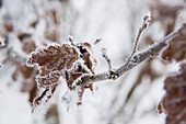 Ice crystals on an oak leaf on the shores of Lake Edersee, Lake Edersee, Hesse, Germany, Europe