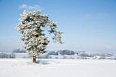 Lone pine tree covered in snow in a winter wonderland landscape between Voehl and Marienhagen, near Vöhl, Hesse, Germany, Europe
