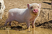 Piglet at an organic farm standing at a wallow puddle, Edertal Gellershausen, Hesse, Germany