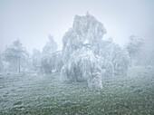 iced weeping willows in the Wechselgebiet, Lower Austria, Austria