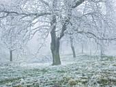 iced fruit trees in the Wechselgebiet, Lower Austria, Austria