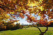 view from Ilkahoehe across green meadows to the alps, leaves of beech trees in Autumn, indian summer, near Tutzing, Starnberg five lakes region, district Starnberg, Bavarian alpine foreland, Upper Bavaria, Bavaria, Germany, Europe