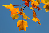 Leaves of a tulip tree, Lat. Liriodendron tulipifera in Autumn, indian summer, Pullach im Isartal, south of Munich, Upper Bavaria, Bavaria, Germany, Europe