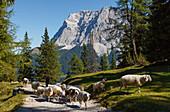 Wettersteingebirge mit Zugspitze, Schafherde, in der Nähe der Seebenalm, bei Ehrwald, Bezirk Reutte, Tirol, Österreich, Europa