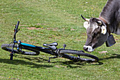 Cow with cowbell sniffing a mountain bike, Trentino, Italy