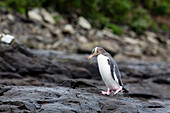 Yellow-eyed penguin at petrified Forest, Curio Bay, Catlins, South Island, New Zealand