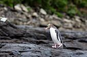 Gelbaugenpinguin beim petrified forest, Curio Bay, Catlins, Südinsel, Neuseeland