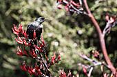 Ein Vogel, ein Tui auf Neuseeland-Flachs, Papatowai, Catlins, Südinsel, Neuseeland