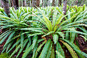 Fern in the rainforest of Fjordland, at Lake Manapouri, Hope Arm, South Island, New Zealand