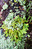 Lichens in the rainforest of Fjordland, South Island, New Zealand