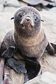 Baby Fur Seal, Half Moon Bay, Kaikoura, South Island, New Zealand