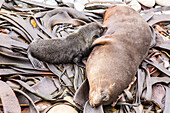 Baby Fur Seal suckling with mother, Half Moon Bay, Kaikoura, South Island, New Zealand