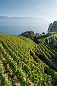 Weingüter bei Epesses, Genfer See, Schweiz