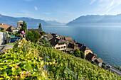 Weingüter bei St. Saphorin, Genfer See, Schweiz