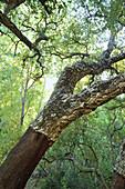 Cork oak with bizare branches, Serrania de Ronda, Andalusia, Spain