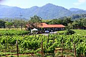 Vineyard Granmonte Estate at Khao Yai National Park, center of Thailand, Thailand