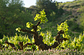 Old vine in Kouris valley south of the Troodos mountains, Cyprus