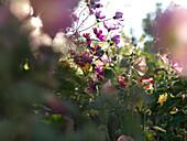 Herbstblumen, Fraueninsel, Chiemsee, Bayern, Deutschland