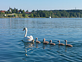 Swan and cygnets on lake Chiemsee, Gstadt am Chiemsee, Upper Bavaria, Germany