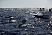 Persons on a boat watching swimming dolphins, Dominica, Lesser Antilles, Caribbean