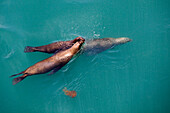 Three sea lions swim in formation with red jellyfish, Iquique, Tarapaca, Chile