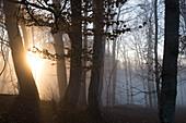 Forest with backlit fog, Berg, Upper Bavaria, Germany