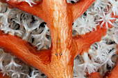 Ghost Goby in Soft Coral, Pleurosicya sp., Triton Bay, West Papua, Indonesia
