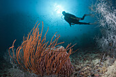 Scuba Diver and Red Whip Coral, Ellisella ceratophyta, Triton Bay, West Papua, Indonesia