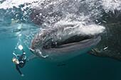 Snorkeling near Whal Shark, Rhincodon typus, Triton Bay, West Papua, Indonesia