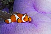 Clown Anemonefish, Amphiprion ocellaris, Triton Bay, West Papua, Indonesia