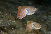 Courtship Display of Cuttlefish, Sepia sp., Ambon, Moluccas, Indonesia