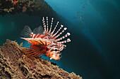 Zebra Lionfish under a Jetty, Dendrochirus zebra, Ambon, Moluccas, Indonesia