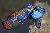 Mating Mandarinfish, Synchiropus splendidus, Ambon, Moluccas, Indonesia