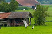 Störche in Raisting/Pähl am Ammersee, Oberbayern, D