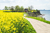 Rapeseed field on a cliff near Travemuende, Luebeck Bay, Baltic Coast, Schleswig-Holstein, Germany