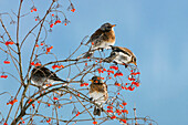 Fieldfares eating berries, Turdus pilaris, Germany