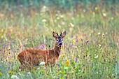 Roe Deer buck in meadow, Capreolus capreolus, Bavaria, Germany