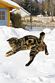 cat jumping in snow, domestic cat, male, Germany