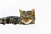 Domestic cat in snow, male, Germany