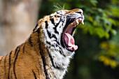Siberian Tiger yawning, Panthera tigris altaica, captive