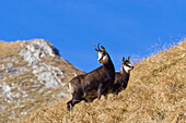 Chamois with kid, Rupicapra rupicapra, Alps, Bavaria, Germany