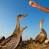Mallard females beeing fed, Anas platyrhynchos, Germany