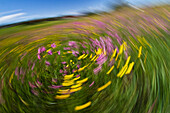 abstract flowering meadow with Ranunculus acris and Lychnis flos-cuculi, Upper Bavaria, Germany, Europe