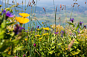 blooming mountain meadow, Upper Bavaria, Alps, Germany, Europe